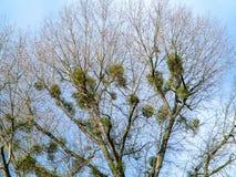 mistletoe Foto de Stock Royalty Free