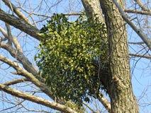 mistletoe Immagini Stock Libere da Diritti