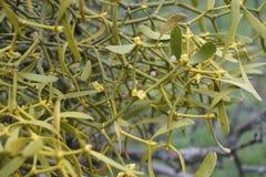mistletoe Fotografie Stock