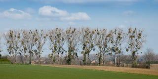 mistletoe Royalty-vrije Stock Foto's