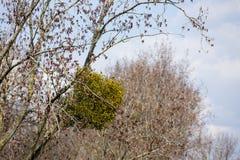 mistletoe Stock Foto's
