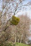 mistletoe Royalty-vrije Stock Afbeelding