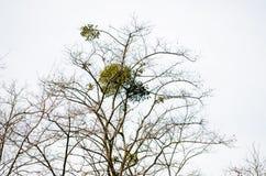 mistletoe Fotografía de archivo