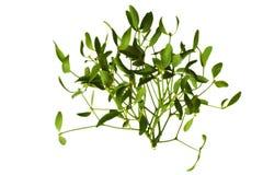Mistletoe Стоковые Изображения RF