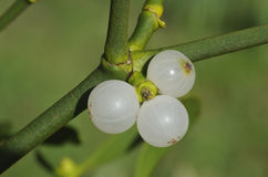 Mistletoe berries. Mistletoe white berries - Viscum album stock images