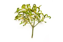 Mistletoe branch Stock Photography