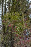 Mistletoe branch on the background of red berries royalty free stock image