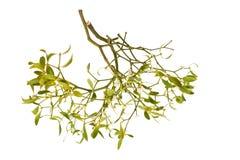 Mistletoe branch Royalty Free Stock Images