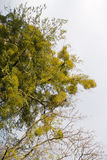 Mistletoe branches Royalty Free Stock Images