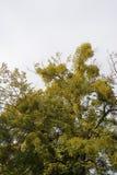 Mistletoe branches Stock Image
