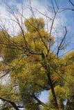 Mistletoe branches Royalty Free Stock Photography