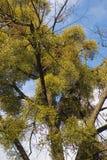 Mistletoe branches Stock Photography