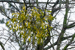 Mistletoe on the branches Royalty Free Stock Images