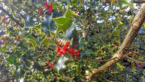 Mistletoe. A bunch of mistletoe in a tree royalty free stock image
