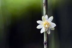 Mistletoe cactus flower, typical of Atlantic Forest trees Stock Images