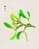 Mistletoe, Christmas decorations, Christmas greenery,Watercolor, painted, painting, art, design Royalty Free Stock Photos