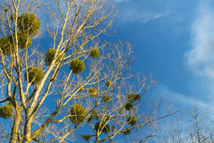 Mistletoe. Christmas mistletoe on a tree royalty free stock photography
