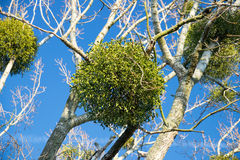 Mistletoe. Christmas mistletoe on a tree royalty free stock photos