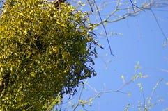 Mistletoe closeup Royalty Free Stock Images