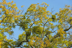 Mistletoe on convoluted tree. Mistletoes on convoluted tree with yellow leaves in autumn Stock Photos