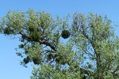 Mistletoe on a deciduous tree Stock Image