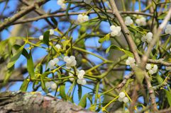 Mistletoe. European mistletoe on the plant royalty free stock image