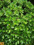 Mistletoe Fig, Mistletoe Rubber Plant tree stock images