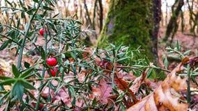 Mistletoe forest background plant nature winter rain royalty free stock photos