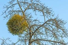 Mistletoe in a fruit tree in wintertime. In Germany Royalty Free Stock Images