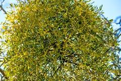 Mistletoe in a fruit tree in wintertime. In Germany Stock Images
