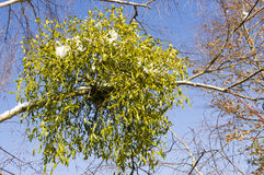 Mistletoe. Mistletoe growing on the branch of a tree stock image