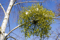 Mistletoe. Royalty Free Stock Photography