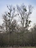 Mistletoe growing in tall trees Stock Image