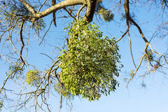 Mistletoe growing on tree. Christmas mistletoe growing on tree horyzontal orientation stock images