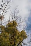 Mistletoe growth Stock Image