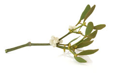 Mistletoe Leaf Sprig with Berries Royalty Free Stock Image