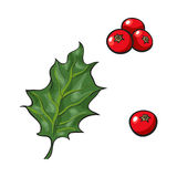 Mistletoe leave and red berries, holly berry. Christmas decoration element, sketch vector illustration on white background. Green mistletoe leaf and red Royalty Free Stock Photo
