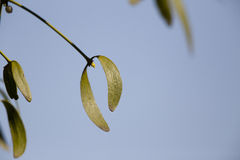 Mistletoe leaves Stock Photos