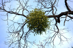 Mistletoe. Located still on the tree royalty free stock photos
