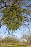 Mistletoe in old Apple Tree Royalty Free Stock Photo