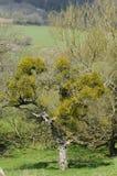 Mistletoe in orchard tree Stock Photos