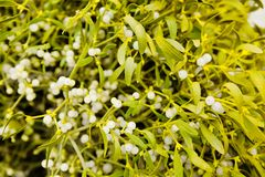 Mistletoe plant Royalty Free Stock Images