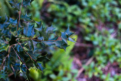 Mistletoe plant Stock Images