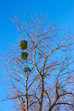 Mistletoe plant on a birch tree Stock Photo