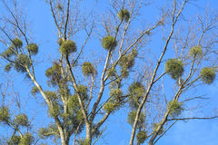 Mistletoe plant Royalty Free Stock Image