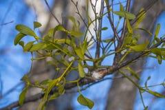 Mistletoe plant Stock Photography