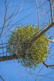 Mistletoe plant Royalty Free Stock Photography