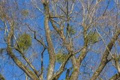 Mistletoe plant Royalty Free Stock Images