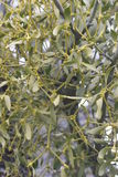 Mistletoe Royalty Free Stock Images