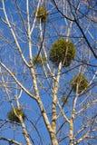 Mistletoe in Poplars Royalty Free Stock Photography